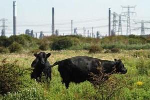 Koeien-voor-industie